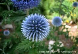 pupleballflower.jpg